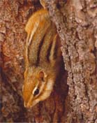 Eastern Chipmunk emerging from a hole in a tree - photo by volunteer John Krieger