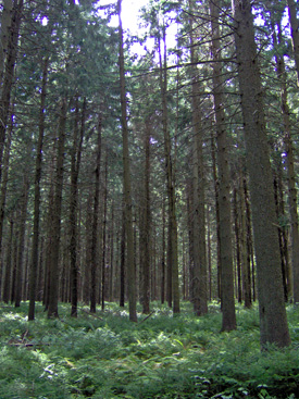 Conifer stand in Ketchumville State Forest