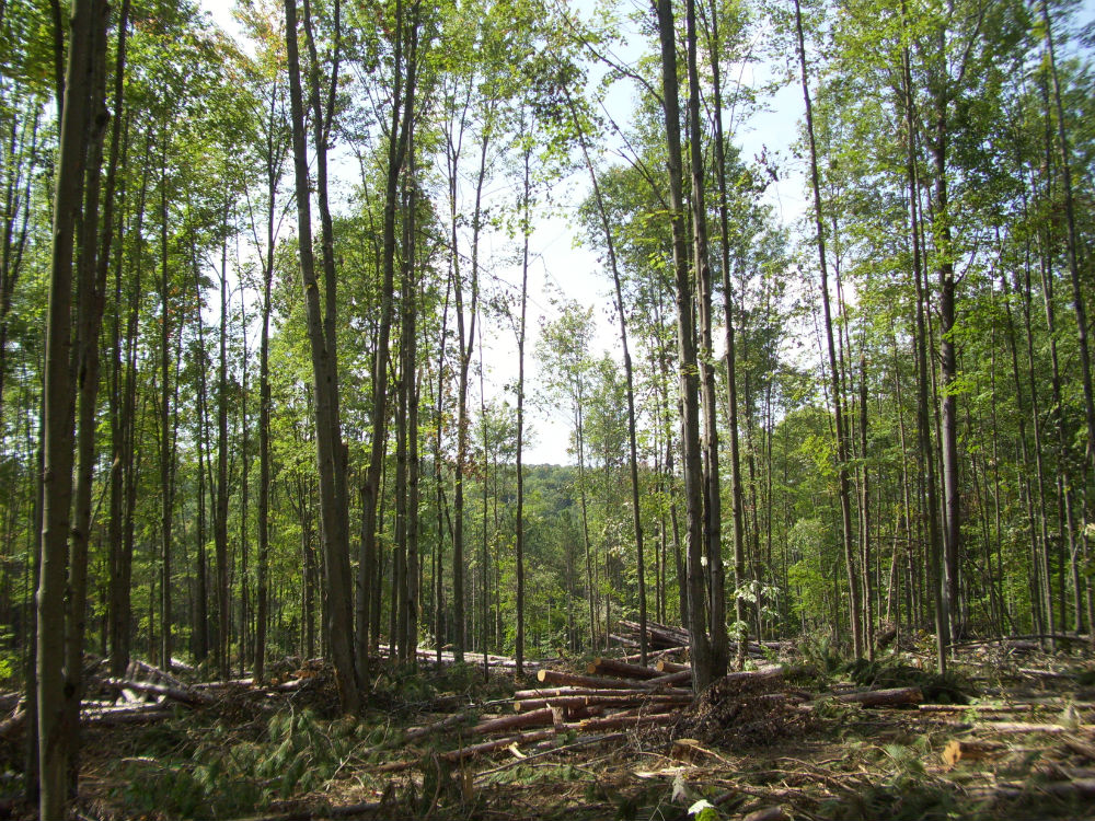 Recent logging in Danby State Forest