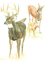Painting of whitetail deer