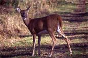 Female white-tailed deer