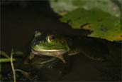 Resident frog peeks out of a pond - photo by volunteer Henry Ciesla