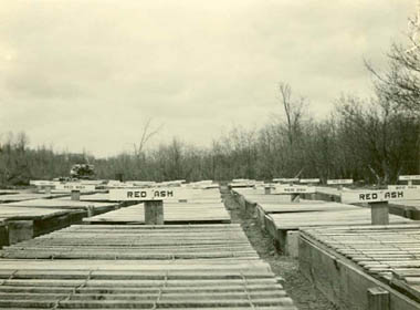1937 photo of Red Ash seed beds used to germinate tree seeds