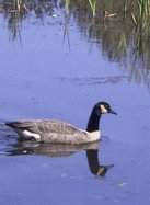 A Canadian Goose on the water