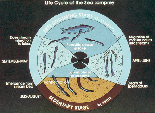 A Diagram Illustrating the Life Cycle of the Sea Lamprey
