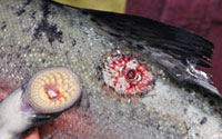 A Wound Sea Lamprey Inflicted