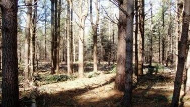 A picture of a harvested white pine stand in lost nation state forest