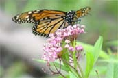 Monarch butterfly atop swamp milkweed - photo by volunteer Paula Kerr