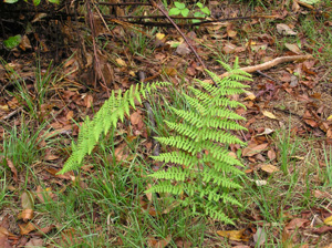 Ferns in Newfield State Forest