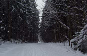 Snowmobile trail in winter running through a stand of Norway Spruce trees