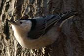 White-breasted nuthatch - photo by volunteer Mark Skowron