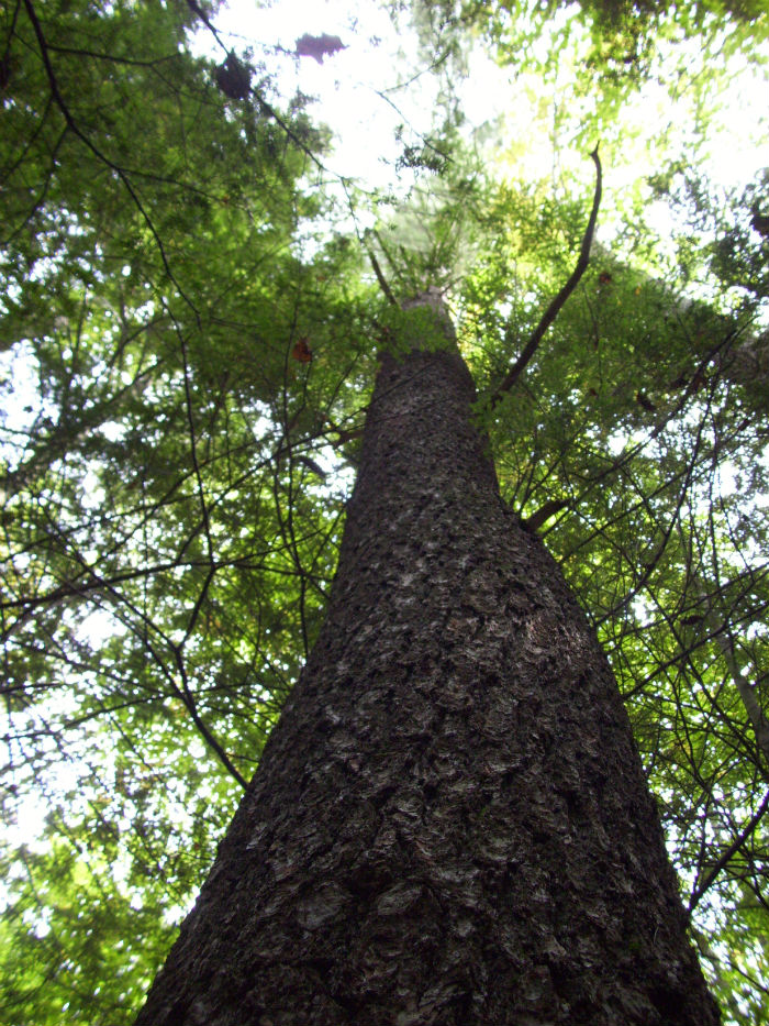 looking up into tree canopy