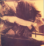 Historic photo of approx. 50 pound musky handled by hatchery staff, circa 1937