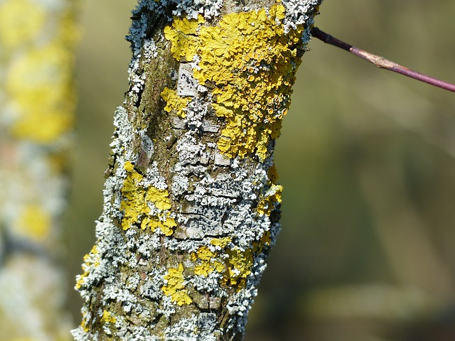 Lichen growing on a dead tree