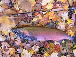 A caught Salmon laying on leaves.