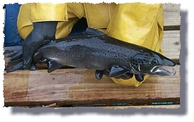 Landlocked Atlantic Salmon