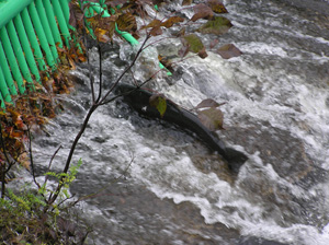 Salmon jumping at Salmon River