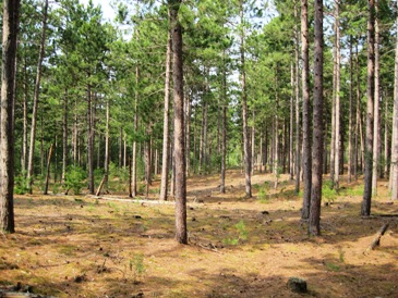 A Picture in 2012 of a Red Pine Plantation, planted in 1938