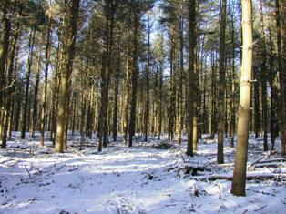a white pine plantation after thinning