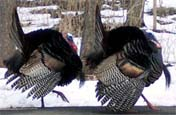 Two male wild turkeys in full courtship plumage