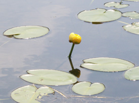 A photo of a yellow lily on a pond in the papish Pond Multiple Use Area