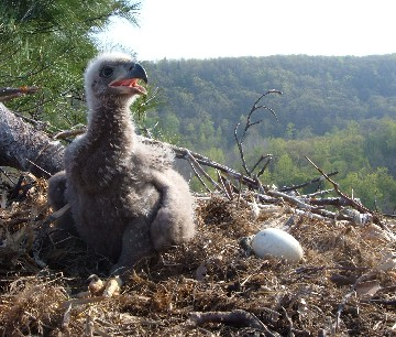 Eaglet hatched in Zoar Valley