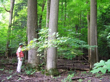 Forestry staff stands besides a group of tall Tulip Trees in Zoar Valley