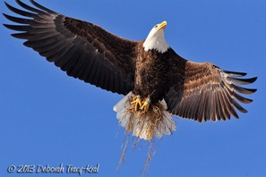 A bald eagle soaring in the blue sky with dried grass clasped in her talons