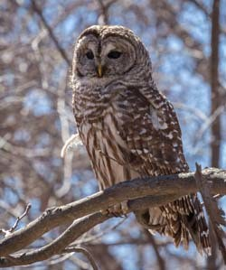 barred owl perched on a tree branch