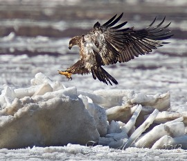 An immature bald eagle landing on chunks of ice on the Hudson River