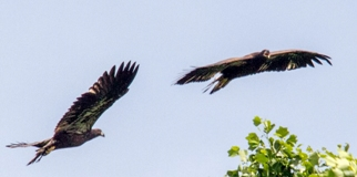 two recently fledged bald eagles flying close to each other