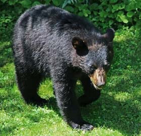 close up of black bear