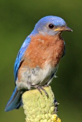 A perched adult eastern bluebird poses for an upclose camera shot