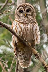barred owl in a tree colored brown and white