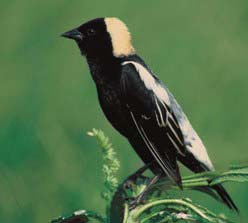 male bobolink perched on a plant with greenery in the background