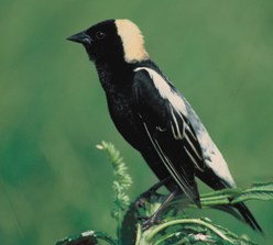 black and white bobolink on a plant