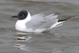 one bonaparte's gull floating on water. gull has a black head and a grey body