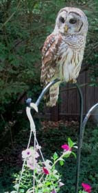 barred owl perched on a flower pot hanger