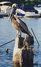 brown pelican sitting on a piling on a lake
