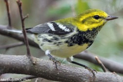 black-throated green warbler in tree. has a yellow head with a black and white body
