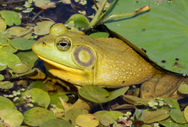 green bullfrog partially in the water surrounded by matching vegetation