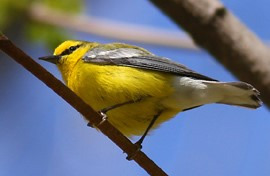 photo from below of a bright yellow blue-winged warbler perched in a tree against a bright blue sky