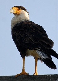 close up of a crested caracara perched on a log