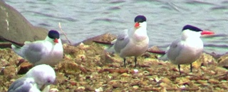 three caspian terns on a beach