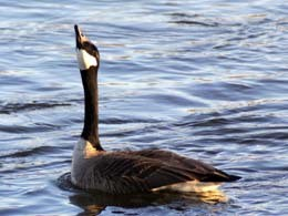 photo of a single canada goose on the water with its head pointing up in mid honk