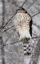 immature cooper's hawk perched in a thin tree branch while snow is falling