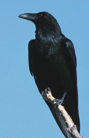 close up of a common raven perched on top of a branch