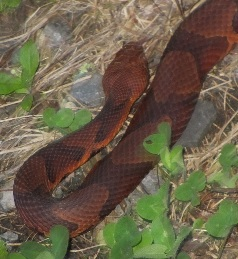A nothern copperhead suns itself in a bed of dry grass.