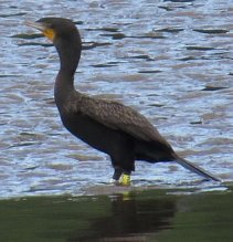 A double-crested cormorant with a thick yellow ID band wades in shallow waters