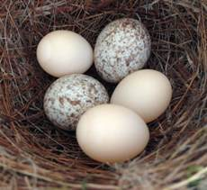 A bird nest containing both brown-headed cowbird eggs and eastern phoebe eggs